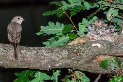 Запятнанные мухоловка и гнездо с цыпленоками Стоковое фото RF