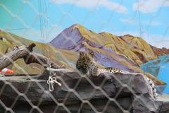 Запятнанные лож леопарда стоковые фотографии rf