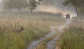 Запятнанные олени пересекая лес отстают в Dhikala Стоковое фото RF