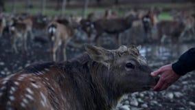 Запятнанные олени в природе акции видеоматериалы