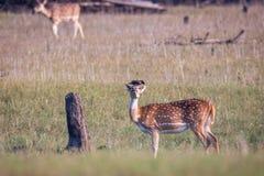 Запятнанные олени и говорить myna Стоковое Фото