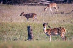 Запятнанные олени и птицы Стоковая Фотография