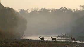 Запятнанные олени на Bardia, Непале Стоковые Фото