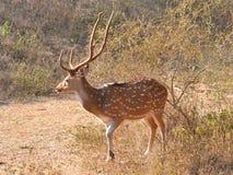 Запятнанные олени Chital/мужчина Cheetal (оси оси) с Antlers бархата Стоковые Изображения RF
