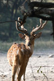 Запятнанные олени - Chital Стоковая Фотография