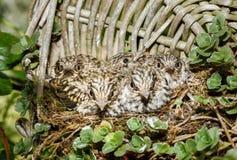 Запятнанные птицы младенца мухоловки в гнезде Стоковое Изображение