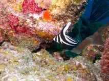 запятнанные рыбы барабанчика Стоковая Фотография