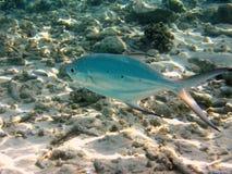запятнанные рыбы дротика Стоковые Фото