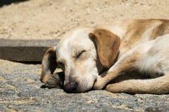Запятнанные сны собаки имбиря сладостно на том основании стоковое фото rf