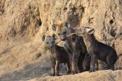 Запятнанные щенята гиены на вертепе Стоковая Фотография RF