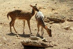 запятнанные deers Стоковые Фотографии RF