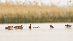 Запятнанные Redshank и стадо Черно-замкнутого веретенника стоковые фотографии rf