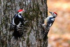 Запятнанные woodpeckers на дереве Стоковое Фото