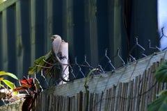 Запятнанный австралийцем монитор дерева Стоковое Изображение RF