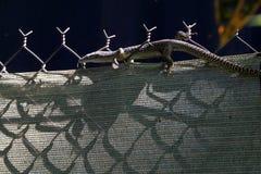 Запятнанный австралийцем монитор дерева Стоковая Фотография RF