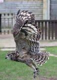 Запятнанный африканский сыч орла в полете Стоковые Изображения RF