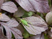 Запятнанный Буш-сверчок (punctatissima Leptophyes) Стоковые Изображения