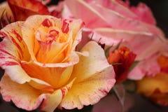 Запятнанный в цвете Стоковая Фотография RF