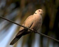 Запятнанный голубь Стоковое Изображение