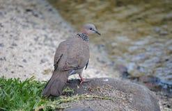 Запятнанный голубь в Кауаи Стоковое Изображение