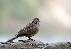 Запятнанный голубь (горлица Chinensis) Стоковые Фотографии RF