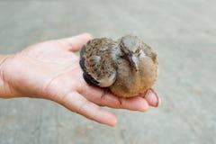 Запятнанный голубь или запятнанный голубь черепахи Стоковая Фотография RF