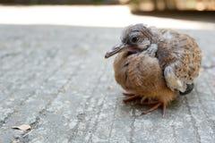 Запятнанный голубь или запятнанный голубь черепахи Стоковые Фотографии RF