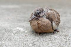 Запятнанный голубь или запятнанный голубь черепахи Стоковые Фото