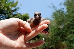 Запятнанный голубь или запятнанный голубь черепахи Стоковые Изображения