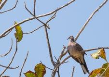 Запятнанный голубь сидя на ветви дерева Стоковое фото RF