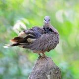 Запятнанный голубь Стоковое Фото