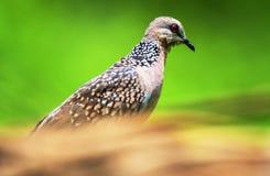 Запятнанный голубь Стоковая Фотография