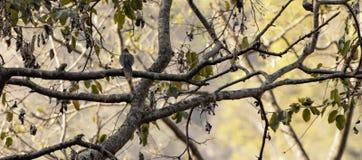 Запятнанный голубь Стоковые Изображения RF