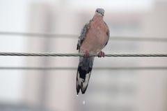 Запятнанный голубь Стоковые Фото