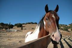 Запятнанный жеребец на загородке на ранчо Стоковое Изображение