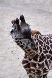 Запятнанный жираф смотря вокруг приложения для еды Стоковое Изображение