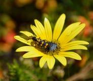 Запятнанный жук волдыря Стоковая Фотография RF
