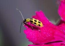 Запятнанный жук огурца на лепестке цветка стоковые фотографии rf