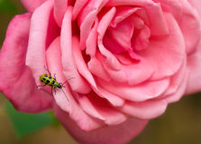 Запятнанный жук огурца Стоковое фото RF