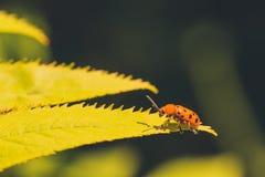 12 запятнанный жук спаржи Стоковая Фотография RF