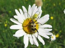 запятнанный коричневый цвет жука Стоковое фото RF