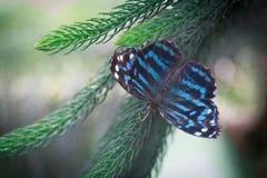 запятнанный красный цвет бабочки пурпуровый Стоковое фото RF