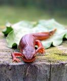 запятнанный красный цвет newt Стоковое фото RF