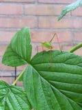 Запятнанный куст-сверчок на лист Стоковое Изображение
