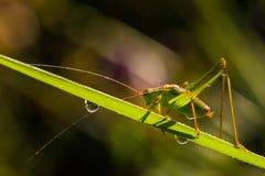 Запятнанный куст-сверчок (punctatissima Leptophyes) Стоковые Фотографии RF