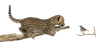 Запятнанный новичок леопарда на ветви смотря птицу Стоковая Фотография RF