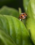Запятнанный оранжевый ladybug на лист Стоковое Изображение RF