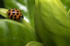 Запятнанный оранжевый ladybug на лист Стоковая Фотография