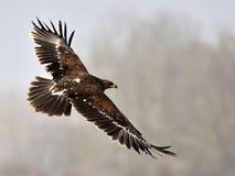 Запятнанный орел Стоковые Фотографии RF