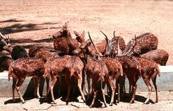 запятнанный пасти оленей Стоковые Фотографии RF
